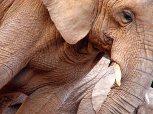 an elephant with thick skin